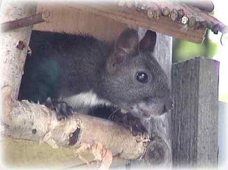 Wiewiórkę